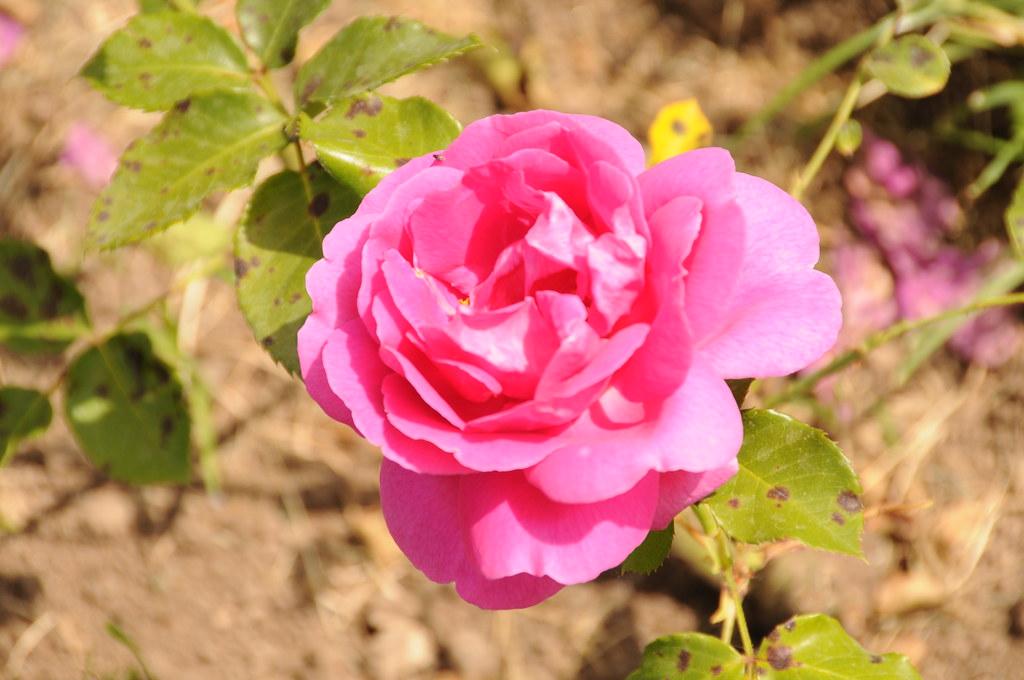 rose 128