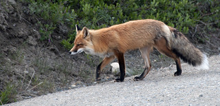 Red Fox   by DenaliNPS