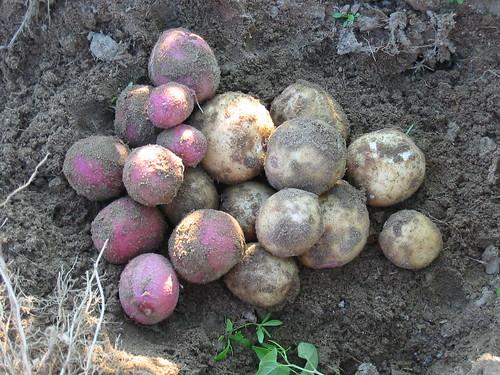 Potato porn
