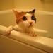 a bathing cat