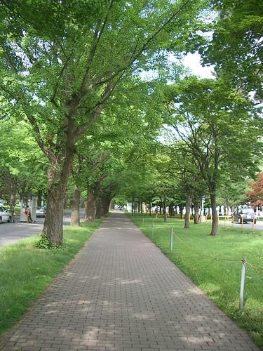 Hokkaido University ginkgo road