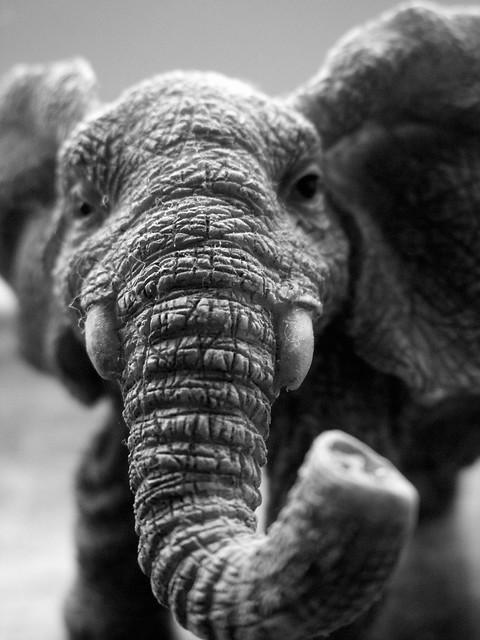 Elephant Macro