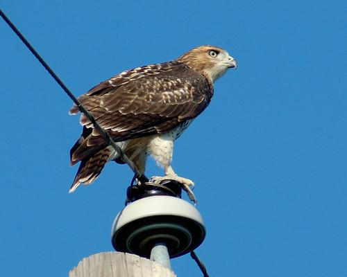 sitting-hawk
