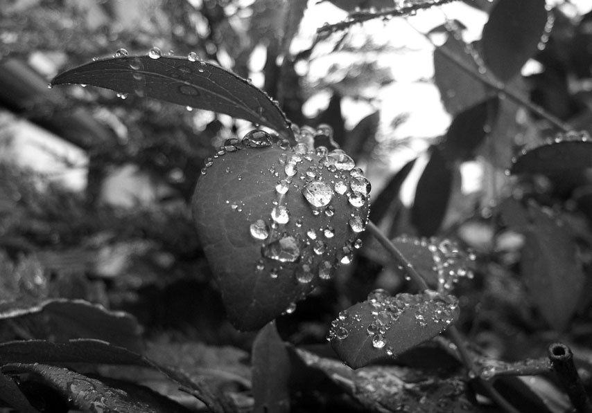 water droplets on leaf bw 2