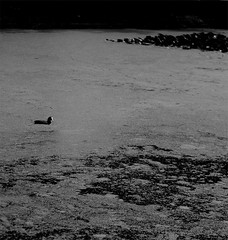 lonely coot