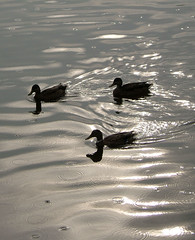 three ducks