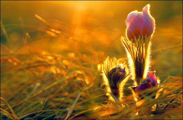 Prairie Crocus in Spring time