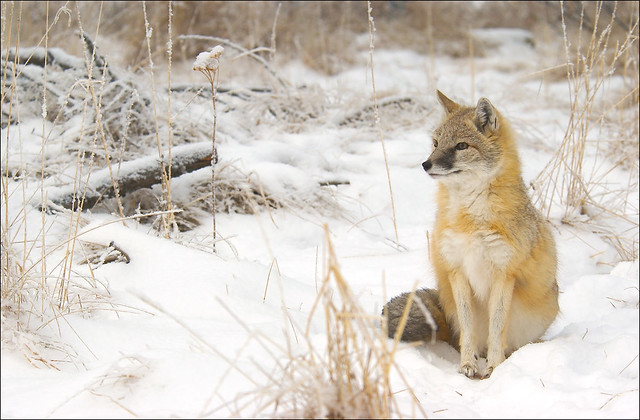 Swift fox in the snow, AB