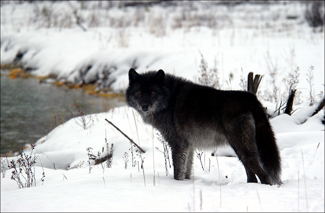 Black wolf controlled situation