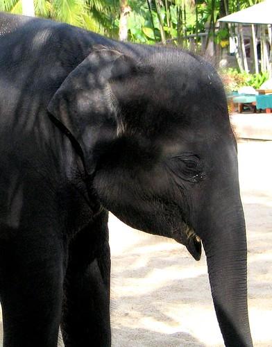 Baby Elephant Portrait   by mykaul