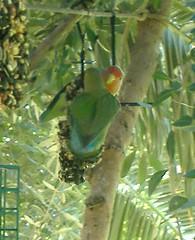 Wild Lovebird
