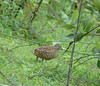 Barred buttonquail by shivanayak