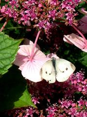 papillon dans les hortensias, 5 août 2005