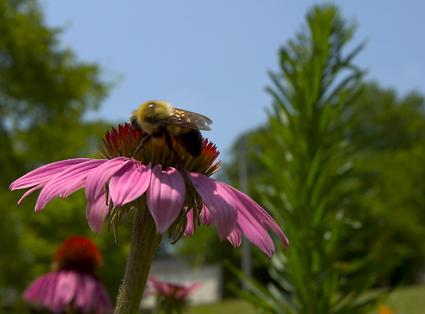 BeeFlowerLoRes