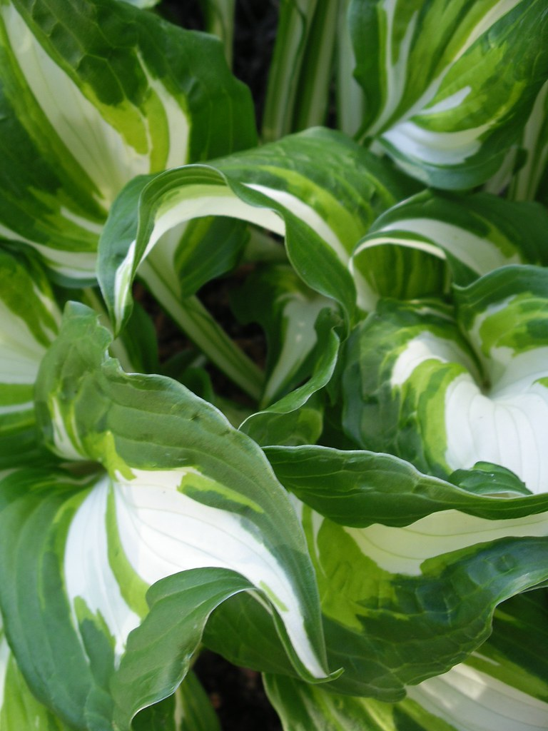Curly Variegated Hosta Leaves Mary Flickr