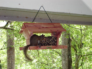 Squirrel On Bird Feeder | by fuzzcat