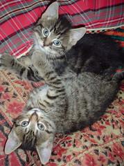 Freyalynn's kittens
