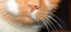 Orange cat's whiskers