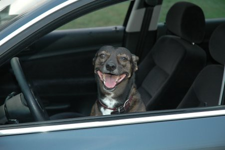 Penny the Driving Dog