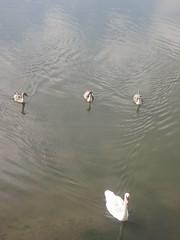 Muddy swans