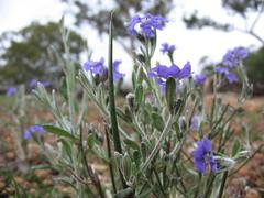 leichenaultia