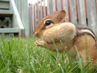Huge Chipmunk spotted in Guelph! | by gfreeman