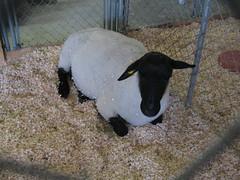 Sheep: Through a Fence