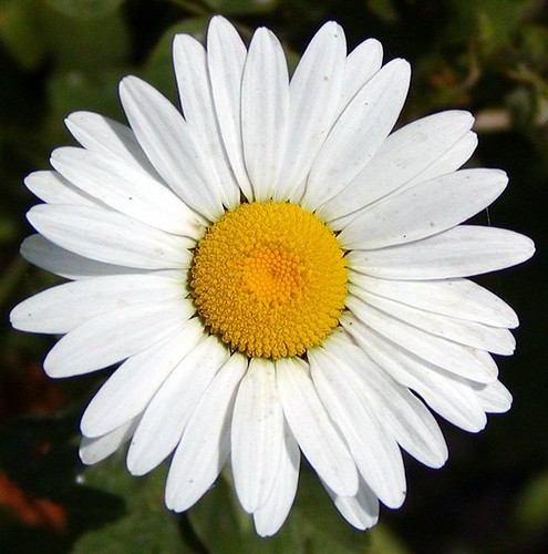 Sequim Native Daisy