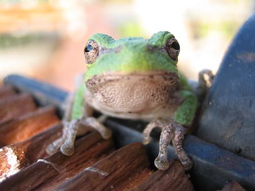 Daytime Tree Frog 5*