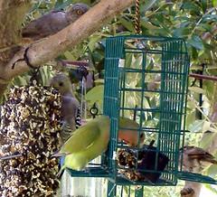 Green Lovebird and Friends