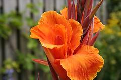 Canna pretoria bloem