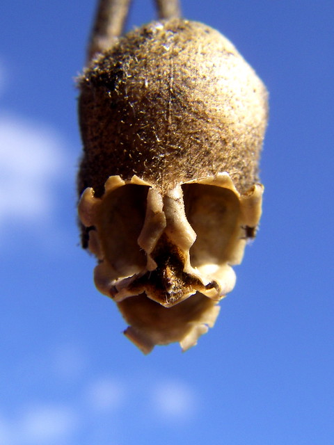 Single skull-like Snapdragon seed capsule