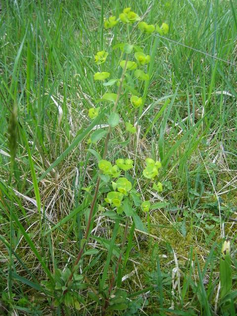 Euphorbe des bois (Euphorbia amygdaloides)