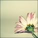 standard flower