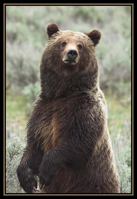 Grand Teton Grizzly