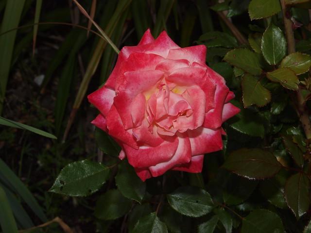 K5169160 Bill Warriner rose