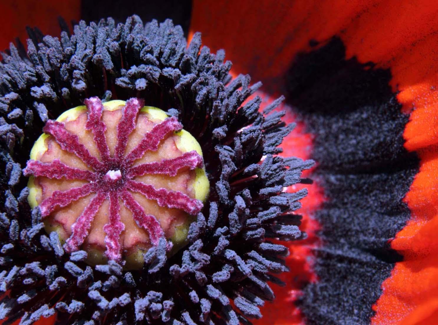 Macro,Poppy,Poppies,flower,closeup,close,up,england,cheshire,UK,garden,perrenial,extreme,extreme macro,365days,nature,natural,history,world,life,this photo rocks,plant,bloom,flowers,flores,blome,Hotpicks,hotpics,hot,pics,pix,picks,hotpix.freeserve.co.uk,hotpix!