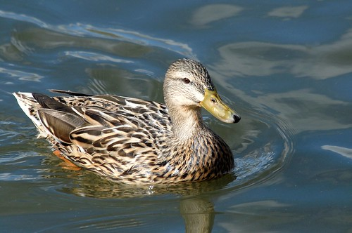 Mallard, female | by birding4ever