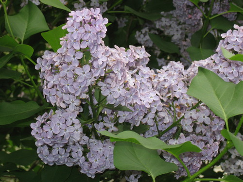 Light Purple Lilac | by pelennor