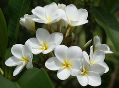 Mothers' Day at the Allerton--Plumeria 2 | by Makuahine Pa'i Ki'i