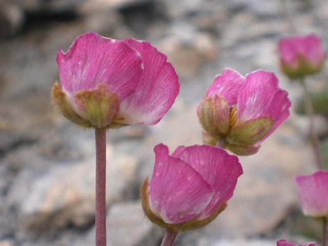 [Ranunculaceae] Ranunculus glacialis