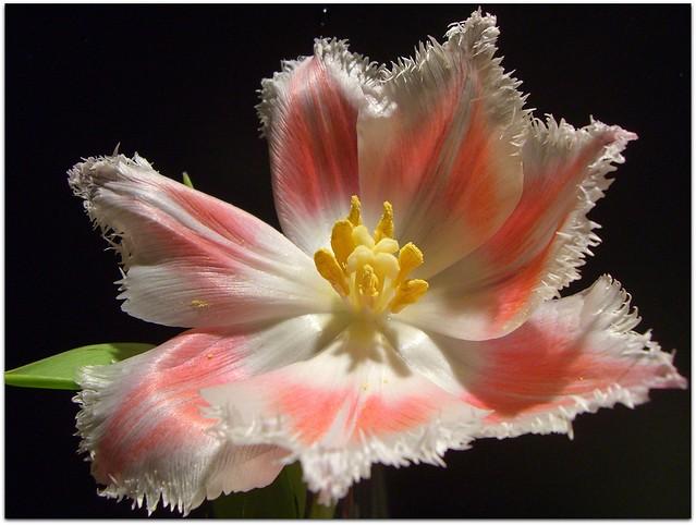 French Tulip