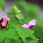 夏堇-紅紫