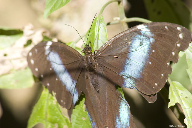 Peru_Butterfly_7822_resized-1