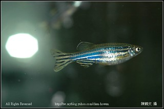 母斑馬魚 Female Zebrafish-03 | by 阿鶴