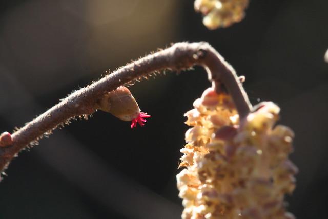 female flower of hazel 2 with male catkin