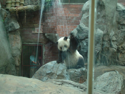 Beijing zoo: panda shower | by mypanda99