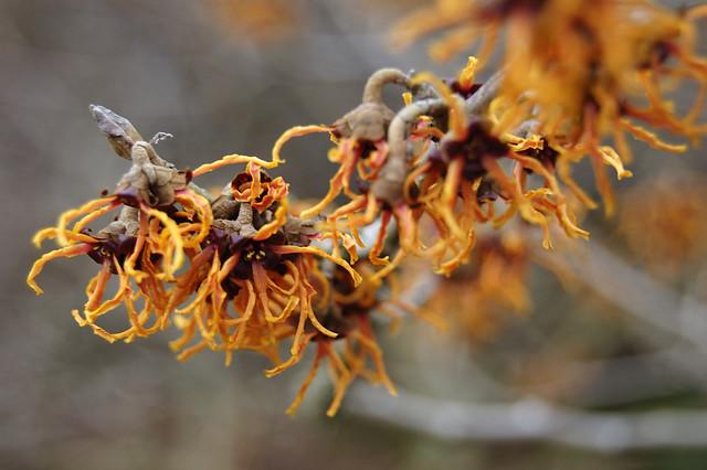 Hamamelis Japonica Var Flavopurpurascens Hamamelidaceae Flickr