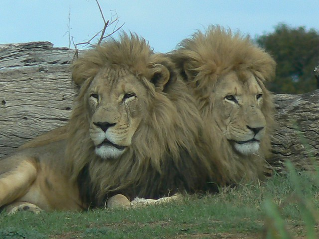 2 headed lion ! (Or best buddies stick together)