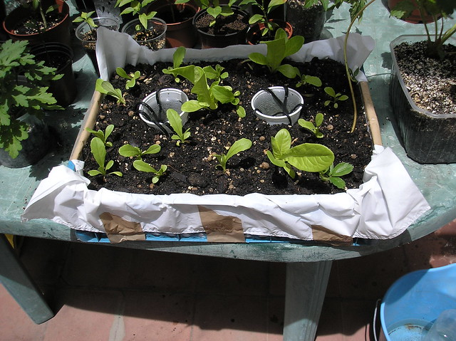 Lettuce in Supermarket tray